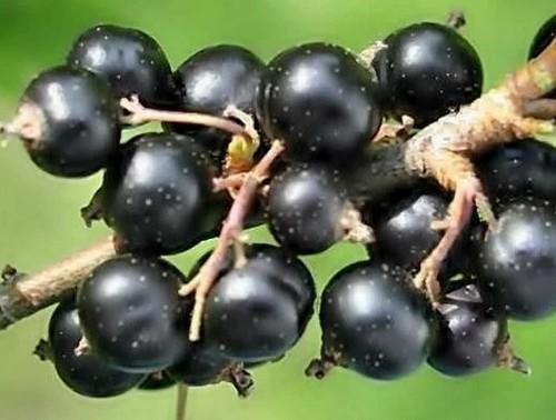 Главные ошибки при выращивании смородины