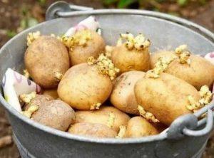 Как быстро прорастить картофель