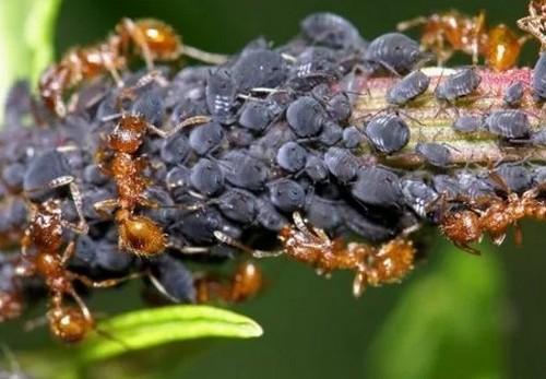 Как навсегда избавиться от муравьев на участке?