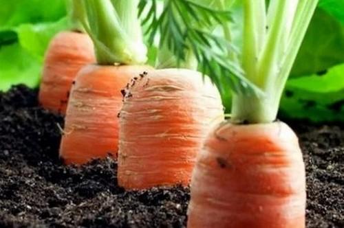 Как посадить морковь, чтобы потом не прореживать?