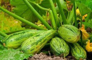 Как повысить урожайность кабачков в несколько раз?