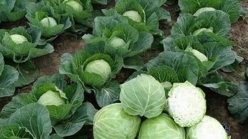 Как защитить капусту от болезней и вырастить крупные кочаны?