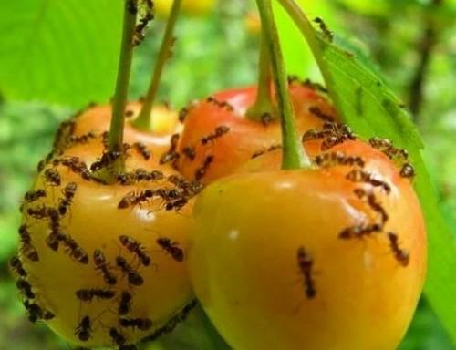 Какой вред наносят муравьи саду и огороду?
