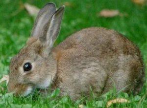 Какую траву можно, а какую нельзя давать кроликам?