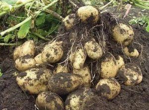 Как выращивать картофель в мешках и делать это правильно?