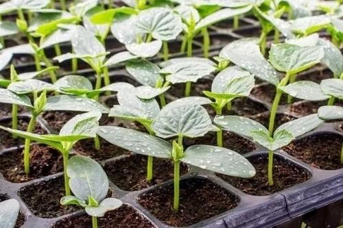 Почему лучше не поливать водой семена после посева?