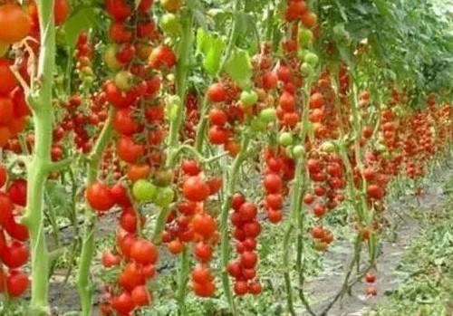 Почему на томатах нельзя обрывать нижние листья при высадке?