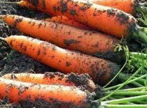 Почему морковь нужно сеять именно в июне?