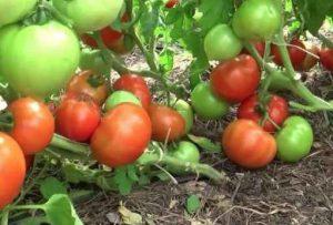 Почему я не подвязываю помидоры?
