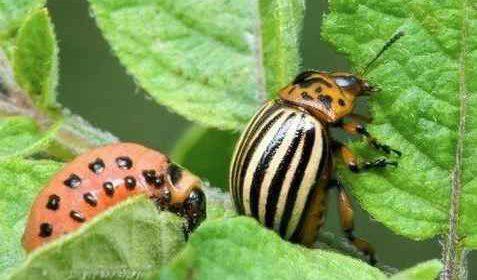 Как быстро и очень просто ликвидировать колорадского жука на баклажанах?