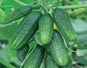 Чем полить огурцы, чтобы они начали стремительно расти?