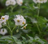 Чем лучше подкормить картофель во время цветения, чтобы увеличить его урожайность?