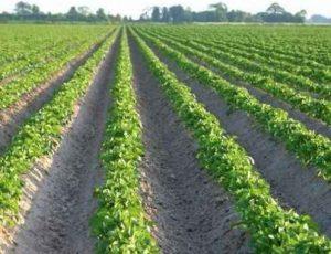 Зачем окучивается картофель и нужно ли это делать?