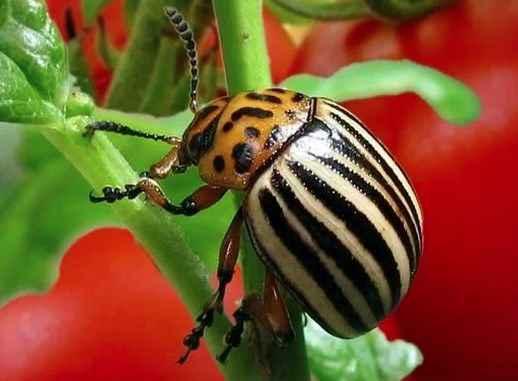 Как навсегда избавиться от колорадского жука?
