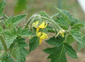 Чем стоит обязательно подкормить помидоры во время цветения?