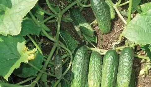 Как нужно поливать огурцы, чтобы до конца лета получать урожай?
