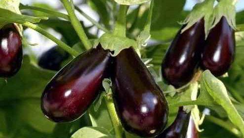 Чем нужно подкормить баклажаны в июне для лучшего плодоношения?