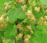 Чем нужно удобрять смородину во время цветения и плодоношения?
