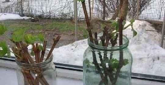 Как легко и быстро размножить виноград в домашних условиях?