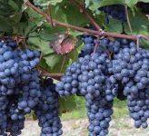 Какие работы стоит произвести с виноградом в июле?