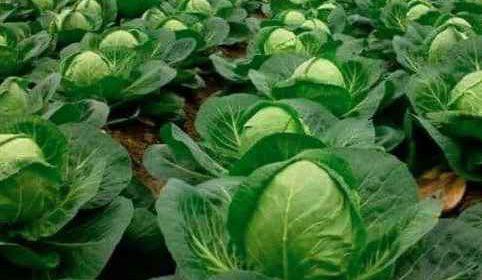 Нужно ли обрывать нижние листья на капусте?