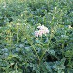 Ботва у картофеля выросла высокая — значит корнеплод плохо развивается. Что с этим делать?