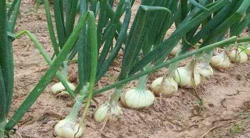Что нужно сделать с луком в июле, чтобы луковицы выросли большими?