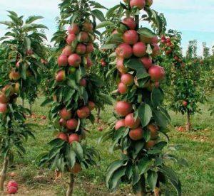 Как размножать любимые сорта фруктовых деревьев?