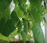 Как получить хороший урожай огурцов на балконе?
