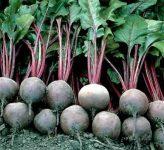 Как посадить свеклу, чтобы урожай можно было собирать почти на месяц раньше?