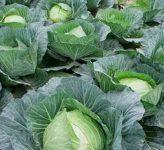 Чего нельзя делать при выращивании капусты?