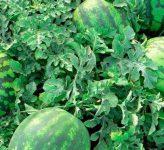 Как вырастить большие арбузы? Секреты выращивания