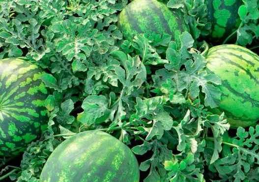 как вырастить большие арбузы украина