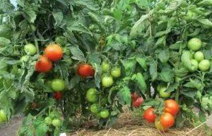 Как правильно произвести мульчирование томатов?