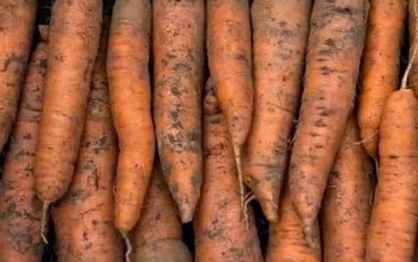 Какие ошибки при уборке и хранении моркови наиболее распространенные?