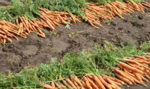 Хранение моркови. Только самое важное