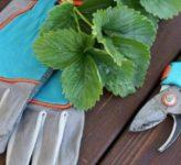 Когда и зачем нужно обрезать листья на клубнике